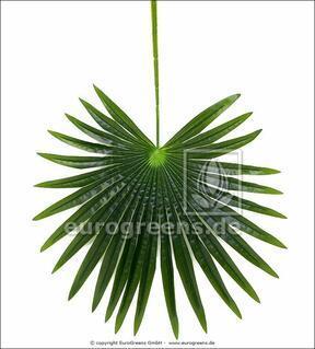 Keinotekoinen lehtipalmu Livistona 90 cm